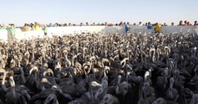 7.472 flamingokycklingar födda